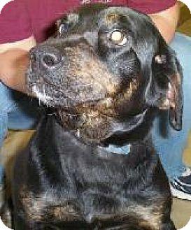 Labrador Retriever/Rottweiler Mix Dog for adoption in Palatine/Kildeer/Buffalo Grove, Illinois - Precious