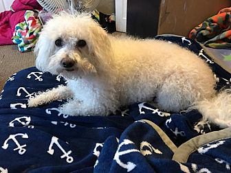 Bichon Frise Dog for adoption in Union Grove, Wisconsin - Bailey-Sweet Senior Needs a Ho