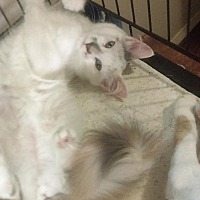 Domestic Longhair Cat for adoption in Bayside, New York - Penelope