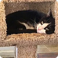 Adopt A Pet :: Milo Tux - Middletown, OH