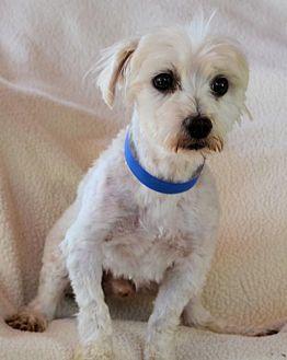 Maltese Dog for adoption in Pueblo, Colorado - Buttons