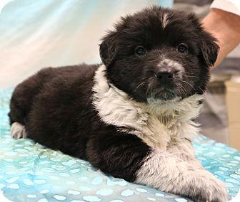 Border Collie/Labrador Retriever Mix Puppy for adoption in Southington, Connecticut - Josie