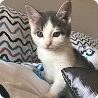 Adopt A Pet :: Lola's Kitten