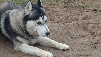 Husky Mix Dog for adoption in Bronx, New York - Linc