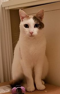 Calico Cat for adoption in Knoxville, Tennessee - Chloe