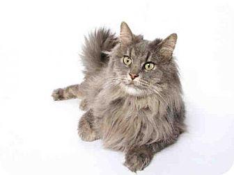 Domestic Mediumhair Cat for adoption in Murray, Utah - STORMY