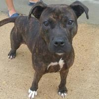 Adopt A Pet :: Dolly - West Memphis, AR