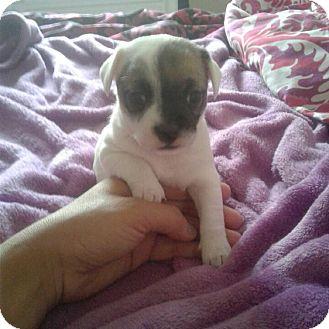 Shih Tzu/Chihuahua Mix Puppy for adoption in Antioch, California - Rosie