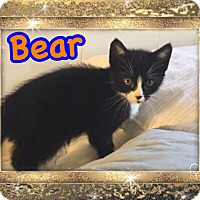 Adopt A Pet :: Bear - Brentwood, NY