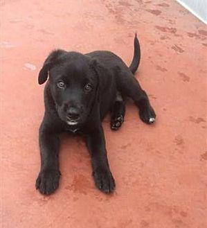 Shepherd (Unknown Type) Mix Puppy for adoption in Fairfax Station, Virginia - Snape