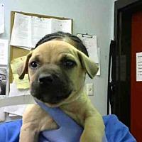 Adopt A Pet :: GALAXY - Atlanta, GA