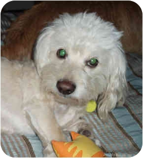Poodle (Miniature) Mix Dog for adoption in Encino, California - BRODY