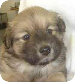 Shepherd (Unknown Type)/Spaniel (Unknown Type) Mix Puppy for adoption in Old Bridge, New Jersey - Kuma