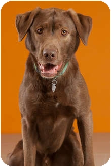 Labrador Retriever Mix Dog for adoption in Portland, Oregon - Nelson