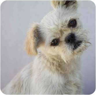 Terrier (Unknown Type, Small)/Shih Tzu Mix Dog for adoption in Yuba City, California - Stitch