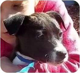 Great Dane/Labrador Retriever Mix Puppy for adoption in P, Maine - Avalon