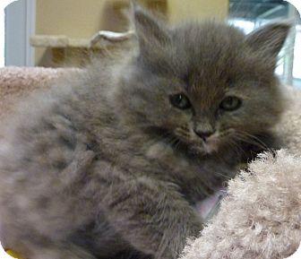 Domestic Mediumhair Kitten for adoption in Grants Pass, Oregon - Ariel