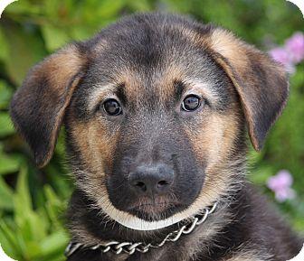 German Shepherd Dog Mix Puppy for adoption in Los Angeles, California - Chaz von Kassel