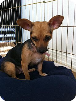Chihuahua/Beagle Mix Dog for adoption in Grass Valley, California - Millie