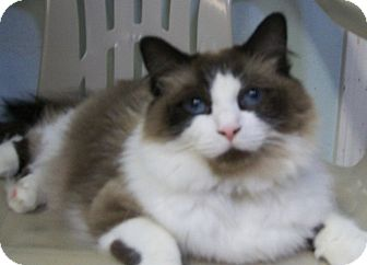 Domestic Longhair Cat for adoption in Grants Pass, Oregon - Bootsie