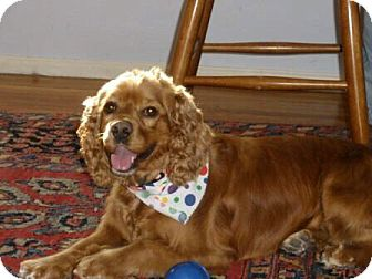 Cocker Spaniel Mix Dog for adoption in Mentor, Ohio - Penelope 5yr Adopted