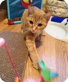 Domestic Shorthair Cat for adoption in Warren, Michigan - Ginger
