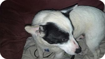 Jack Russell Terrier Mix Dog for adoption in Richburg, South Carolina - Milo