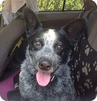 Australian Cattle Dog Dog for adoption in Santa Barbara, California - Chaka