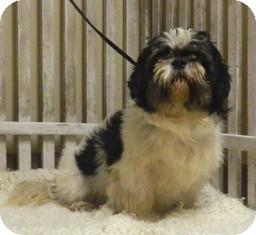 Shih Tzu Mix Dog for adoption in Columbus, Nebraska - Mac