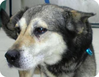 Alaskan Malamute/Shepherd (Unknown Type) Mix Dog for adoption in Lincolnton, North Carolina - Jayden