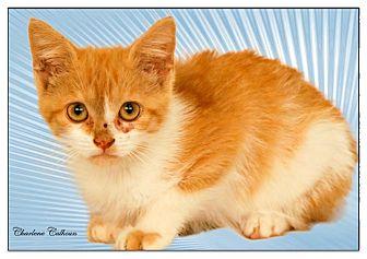 Domestic Shorthair Cat for adoption in Newland, North Carolina - Josie