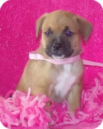 Boxer/Boston Terrier Mix Puppy for adoption in Phillips, Wisconsin - Jane