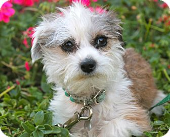 Lhasa Apso/Poodle (Miniature) Mix Dog for adoption in Los Angeles, California - Snow baby 6 pounds!