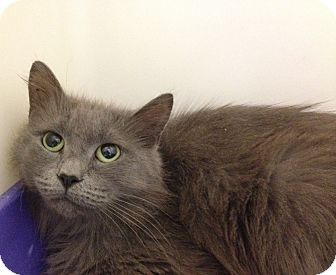 Domestic Longhair Cat for adoption in South Haven, Michigan - Willie May