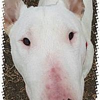 Adopt A Pet :: Bowzer - Sachse, TX