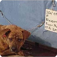 Adopt A Pet :: Blossom/ADOPTED! - Zanesville, OH
