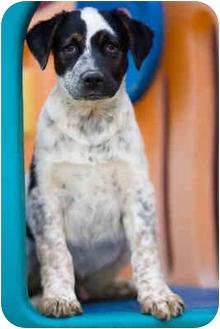 Pointer/St. Bernard Mix Puppy for adoption in Portland, Oregon - Bodie