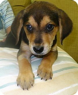 Beagle Mix Puppy for adoption in Eastpoint, Florida - Bobby Joe