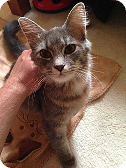 Domestic Shorthair Cat for adoption in Naperville, Illinois - Athena