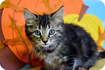 Domestic Mediumhair Kitten for adoption in Bradenton, Florida - Rowdy