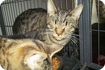 Domestic Shorthair Cat for adoption in Crestview, Florida - Vincent
