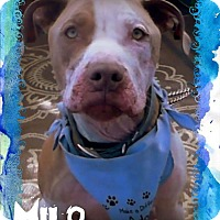 Adopt A Pet :: MILO - Higley, AZ