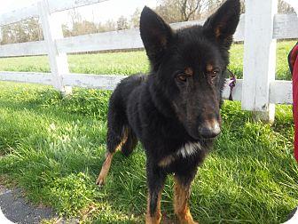 German Shepherd Dog Dog for adoption in Louisville, Kentucky - Buck