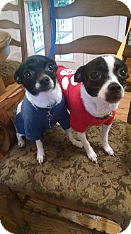 Rat Terrier/Chihuahua Mix Puppy for adoption in Palestine, Texas - Addi and Lucy