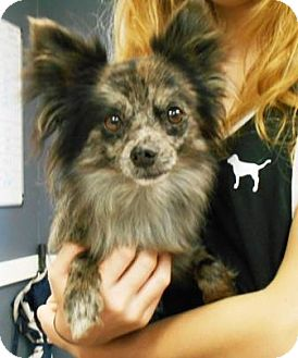Pomeranian/Chihuahua Mix Dog for adoption in Maryville, Illinois - Cubs