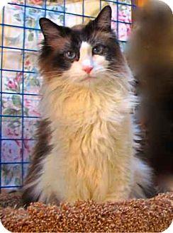 Ragdoll Cat for adoption in Davis, California - Reggie