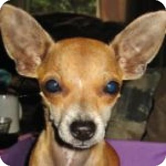 Chihuahua Dog for adoption in Medford, Massachusetts - Lily