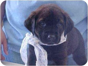 Labrador Retriever Mix Puppy for adoption in Burnsville, North Carolina - Emma
