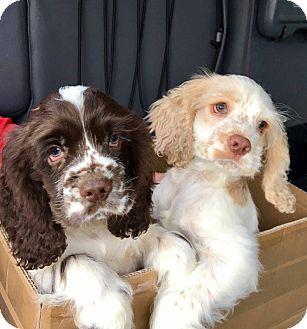 Cocker Spaniel Puppy for adoption in Mentor, Ohio - TUCKER**PUREBRED COCKER BLONDE/WHITE 3 MONTHS OLD!!