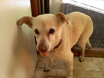 Chihuahua Dog for adoption in Burbank, California - Turbo